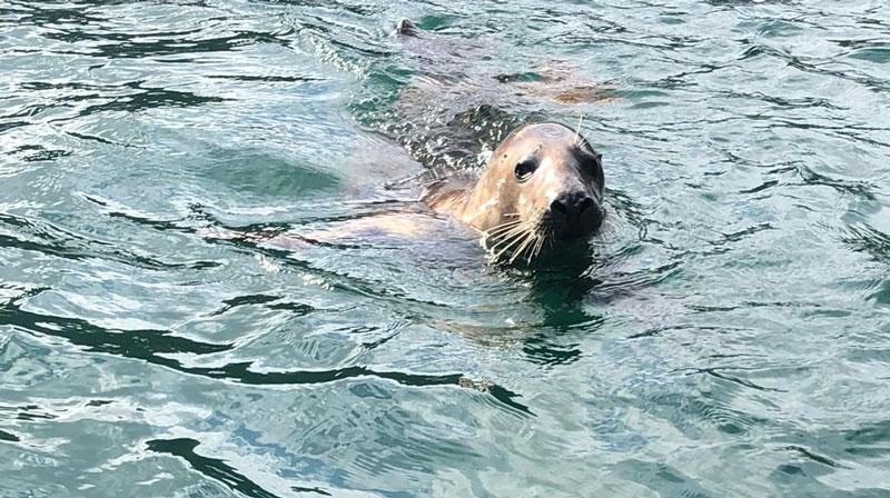 Freddie the Fowey Seal